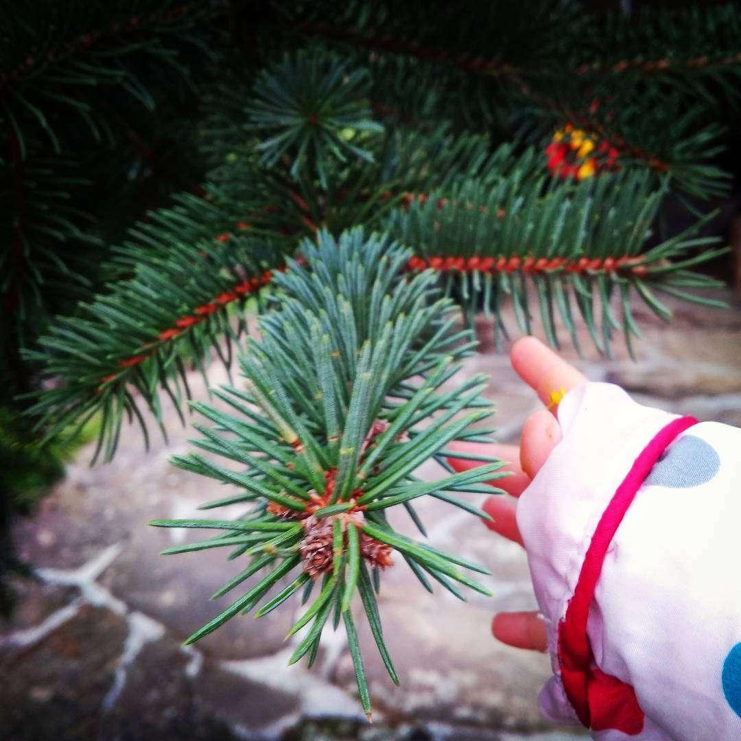 Запознаваме се с иглолистните дървета и усещането от бодличките на различните видове